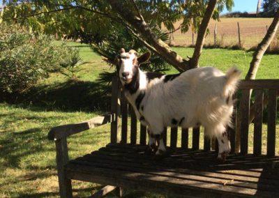 La chèvre Lucie gîte à saint Jean Pied de Port - Gites Lacotaneia